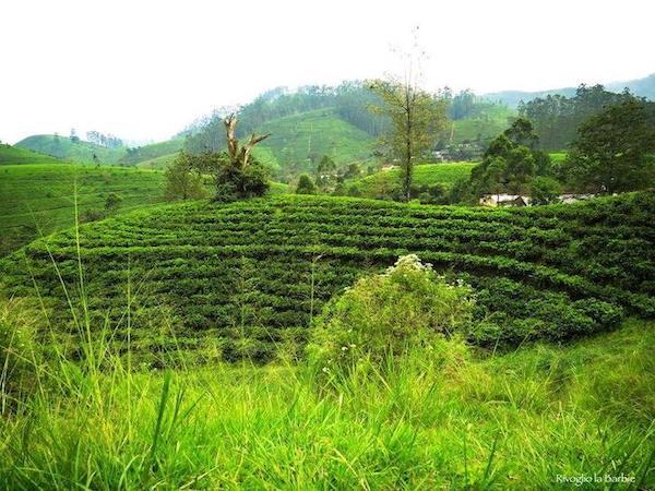 piantagioni di tè sri lanka