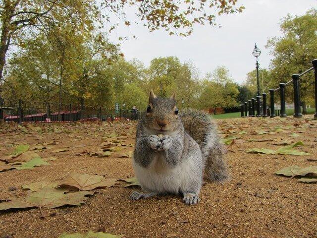 scoiattolo Londra